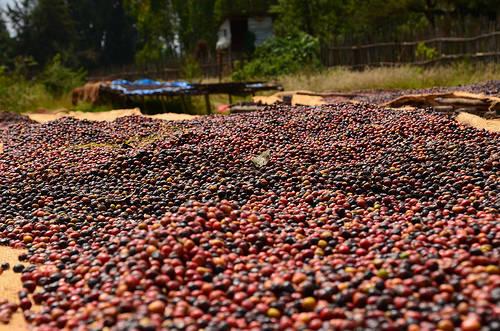 El café alrededor del mundo: África, Medio Oriente y Península Arábiga