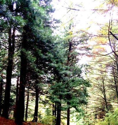 【締め切りました】植物を愛でる会 冬の針葉樹