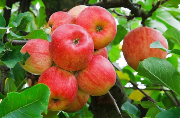 jual bibit apel
