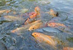 Peluang Usaha Ternak Ikan Tawar Segurih Rasanya