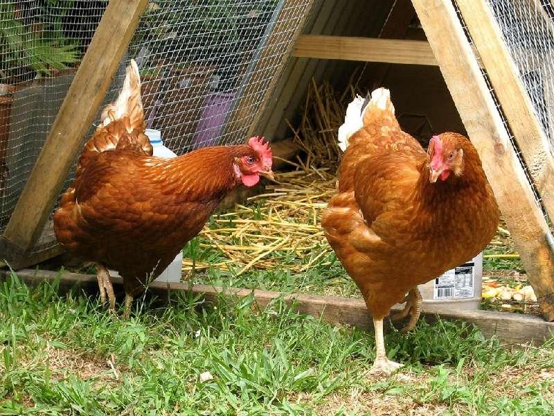 Penyewaan Ayam