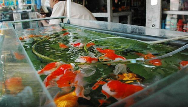 ekspor ikan hias