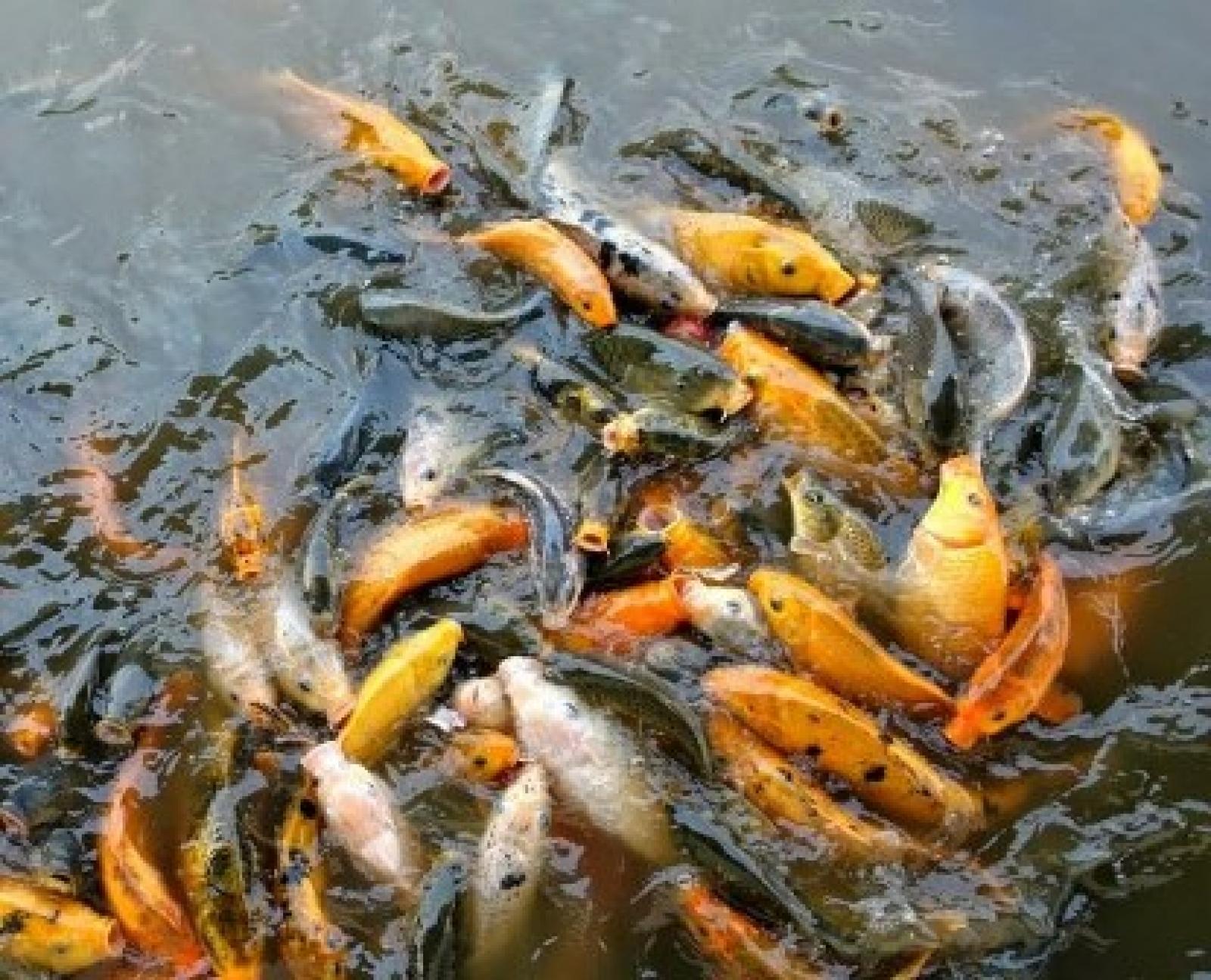 bagaimana cara budidaya ikan mas