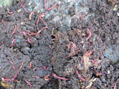 Worms abound in a healthy compost
