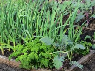 Parsley garlic & kale