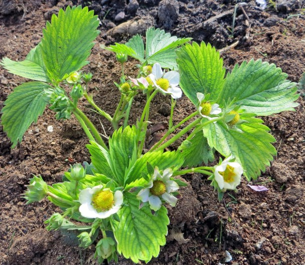 Strawberry in Early Spring