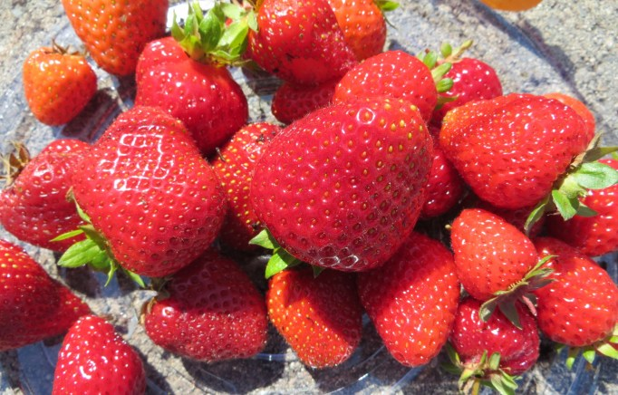 First strawberry pick - sweet and juicy strawberries
