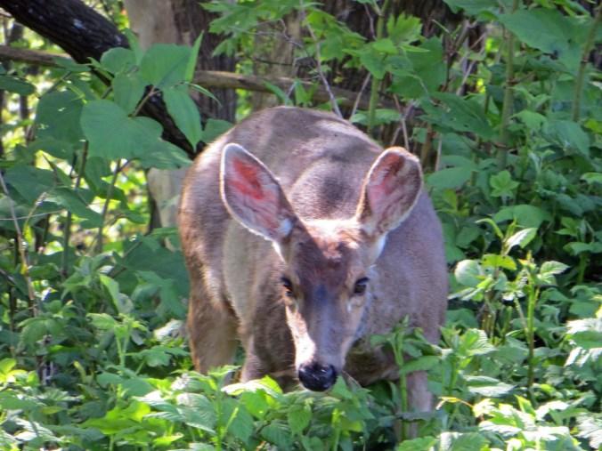 Deer can be a big problem