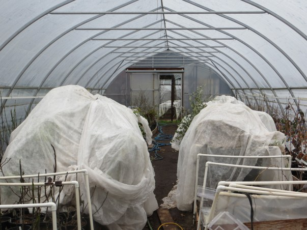 Cloth is used to protect fruit trees inside greenhouses