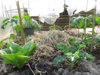 Hay mulched spring lettuce, kale & tomatoes