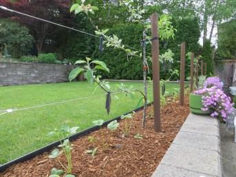 Bark mulch under espalier fruit trees