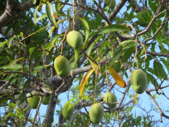 Fruitful mango trees found in tropical climates