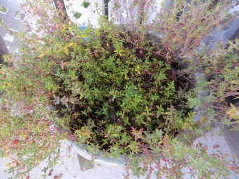 Potted Thyme in winter