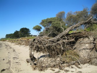 Foreshore trees uprooted