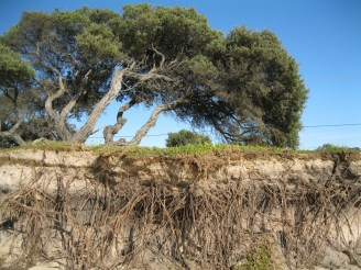 Tree roots exposed due to erosion