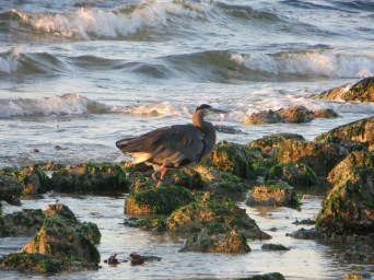Blue Heron fishing for breakfast