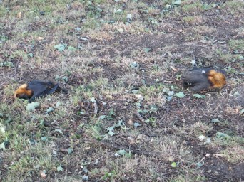 Flying foxes died in heat wave
