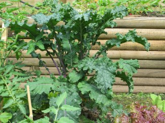 Kale grows well in part shade