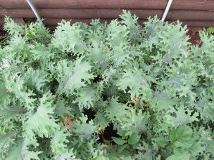 Spring kale started well