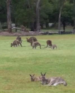 Kangaroo spectators at Halls Gap