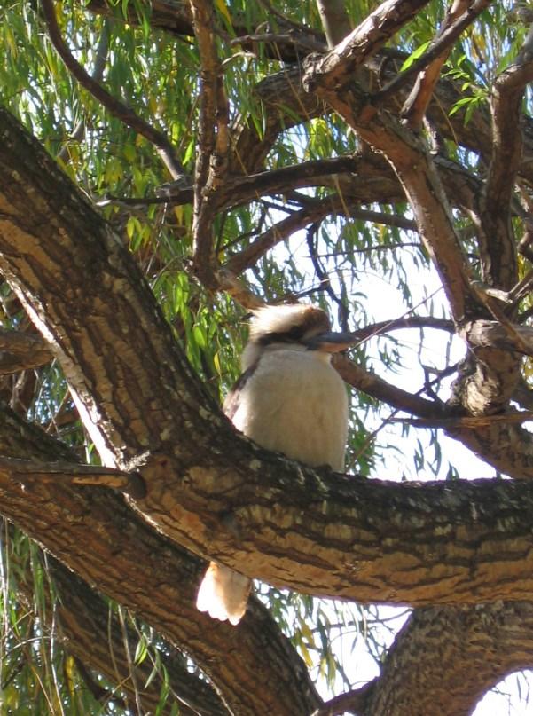 Australian Kookaburra - Halls Gap