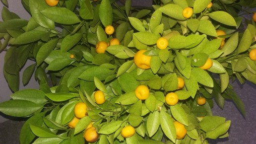 Kumquat in early Spring