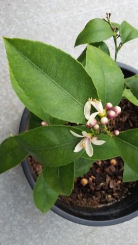 Meyer lemon in bloom
