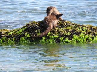 Playful otter sunning himself at low tide