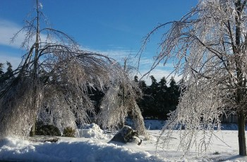 Heavy ice on trees