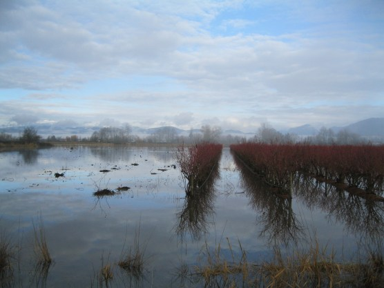 Winter rains in the blueberry fields