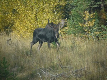 Moose on Central B.C. (Guest photo)