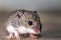cara menghilangkan dan mengusir tikus dari rumah
