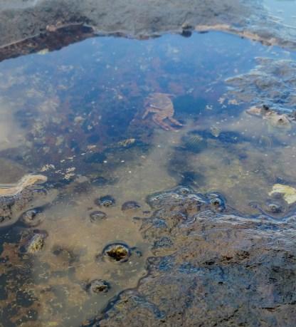 Crab in a tidal pool