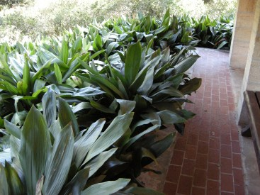 At the base of the rain shelter: Cast Iron plants