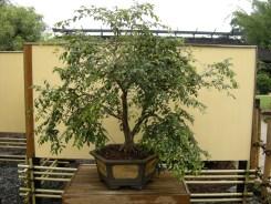 bonsai (1)
