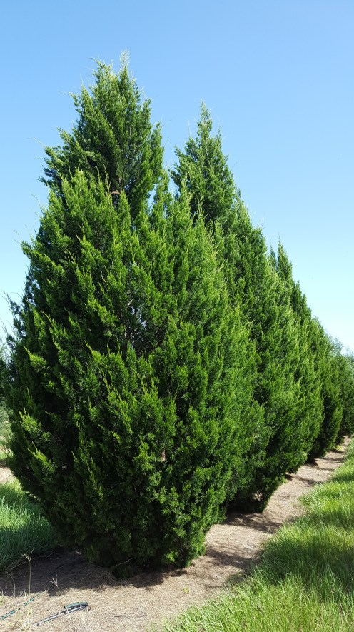 'Brodie' red cedar is a no-maintenance, hardy evergreen.