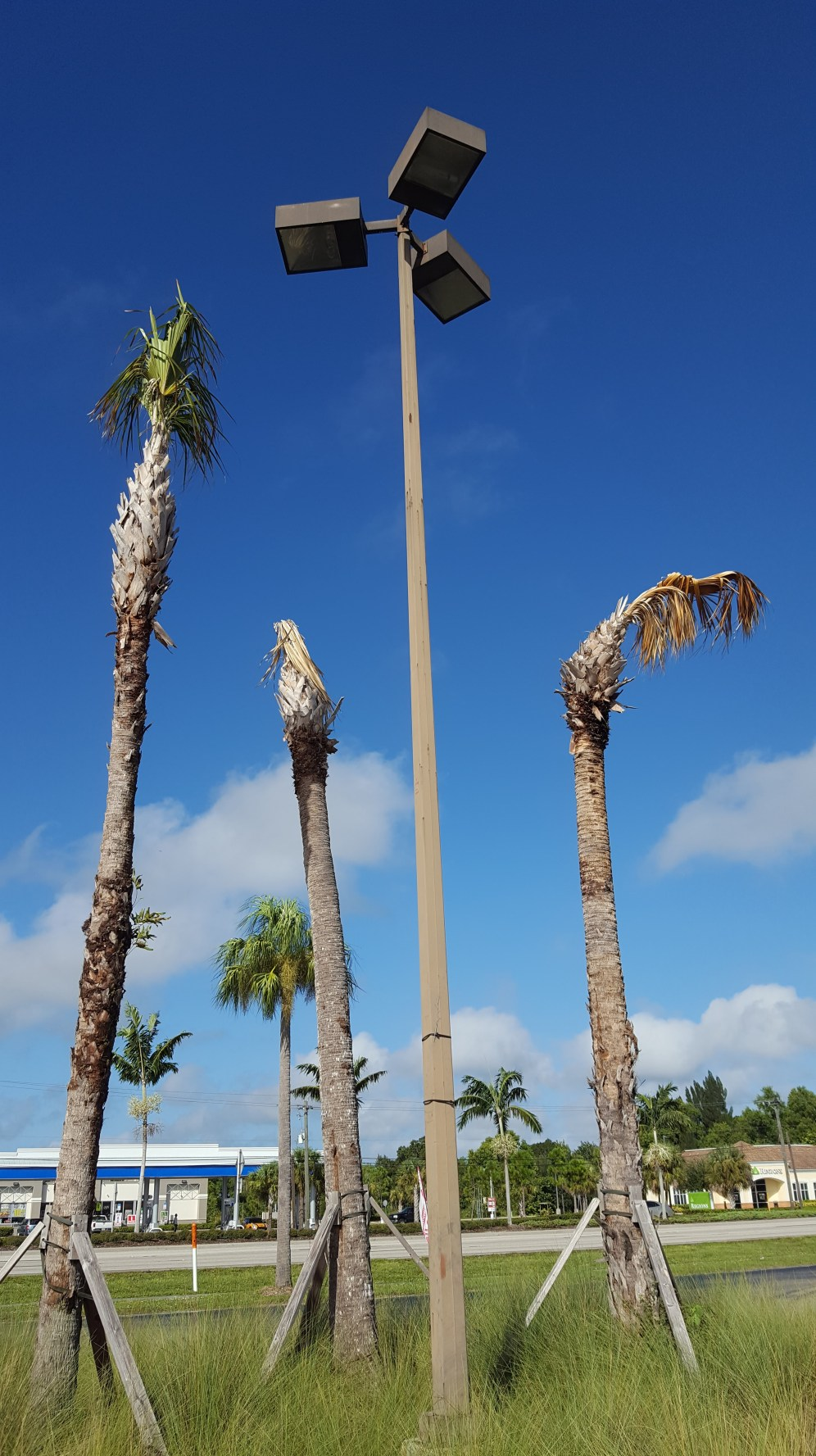 The Cabbage palm transplants easily, when done correctly.