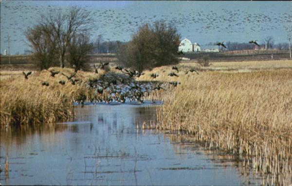 Migrating Canada Geese On Horicon Marsh Birds