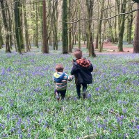 Beautiful bluebells at Coed y Wenallt, Cardiff