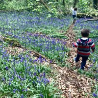 A walk in the bluebell woods at Coed y Wenallt, Cardiff