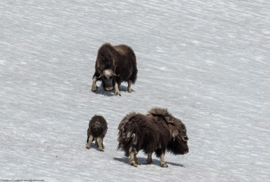 A muskox can reach speeds of up to 60 km/h (37 mph (Come on! Use the Metric system!)).