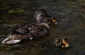 Duck and kids