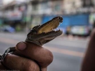A blind baby crocodile