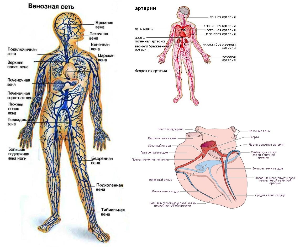 венозная система человека картинки словами, майский