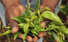 Minimising the harms of khat 1