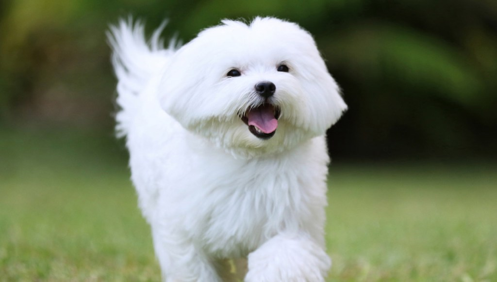 DBS Maltese are suitable dog breed for seniors.