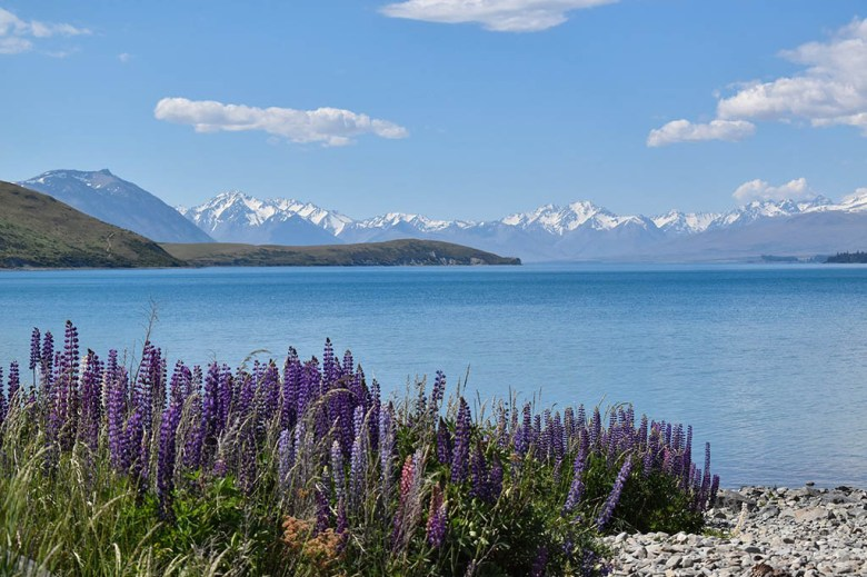 Purple lupins at Lake Ohau on the drive between Mount Cook and Queenstown