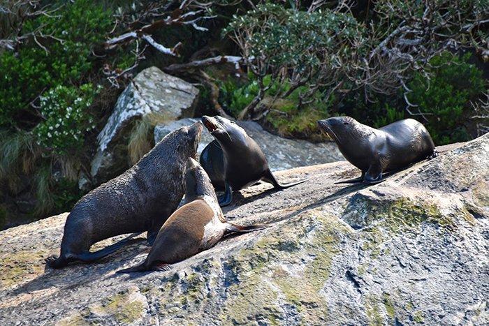 Sea lions - Milford Sound - Fjordlands - South Island - New Zealand