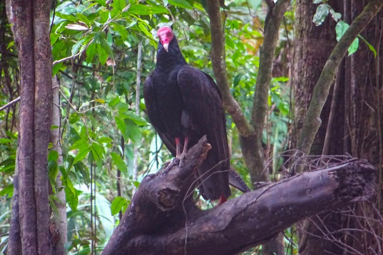 Spotted: a black vulture in the Peruvian Amazon