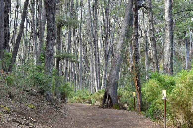 The Sendero de los Arrayanes trail passes through forestland by the shores of Lago Moreno